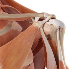 The SHOULDER: Anatomy & Kinesiology
